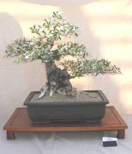 Matsuri 2002 Display Phoenix Bonsai Society