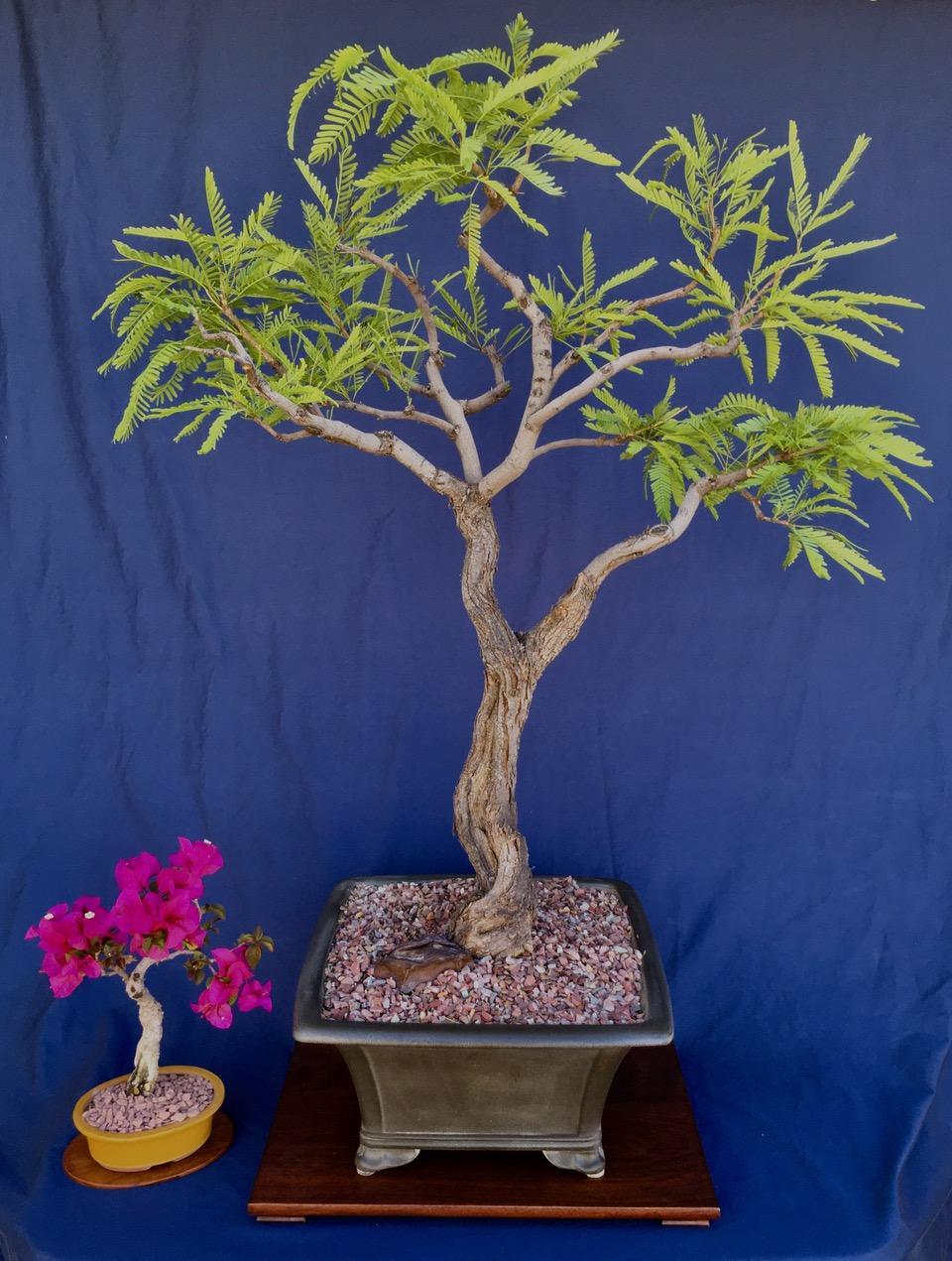 Home Phoenix Bonsai Society