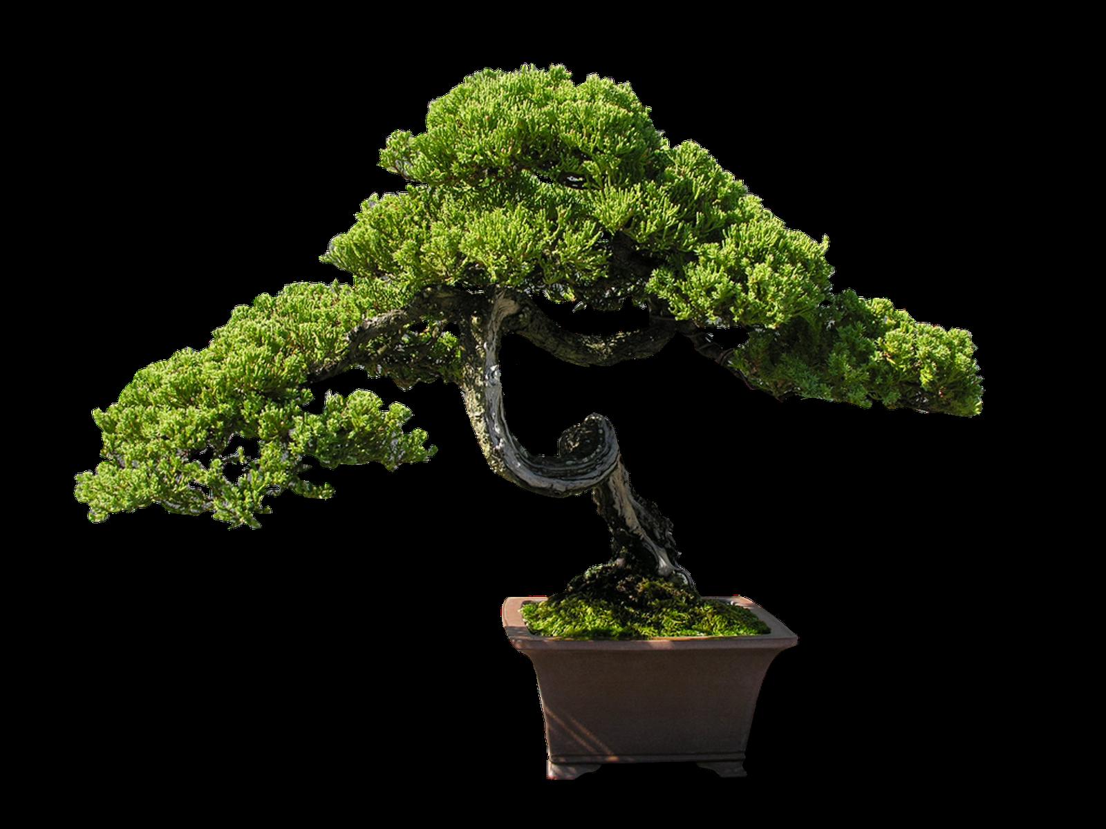 kisspng-indoor-bonsai-tree-clip-art-bonsai-5ac08d0f8ede34.1036729715225684635852