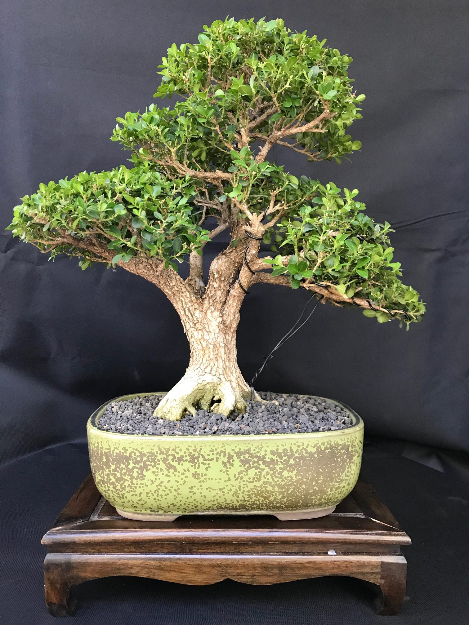 Home Phoenix Bonsai Society