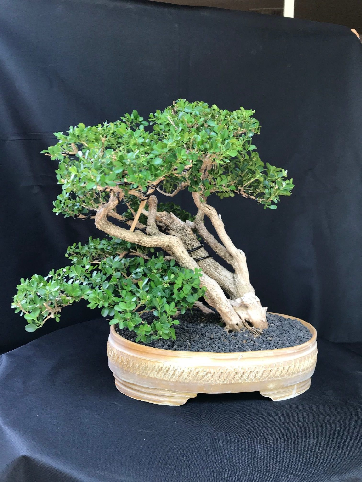 Virtual Tree Show 2020 Phoenix Bonsai Society