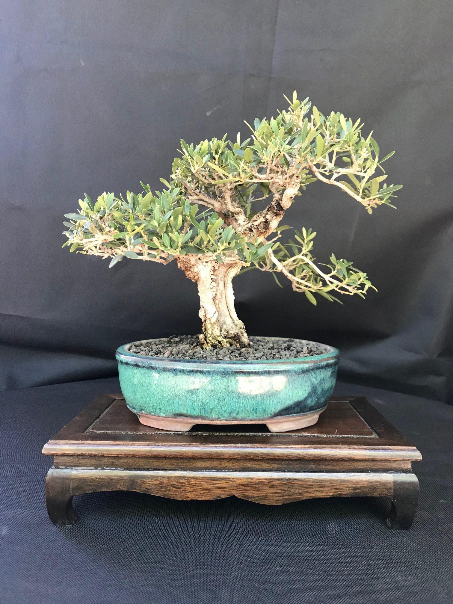 Shohin Olive